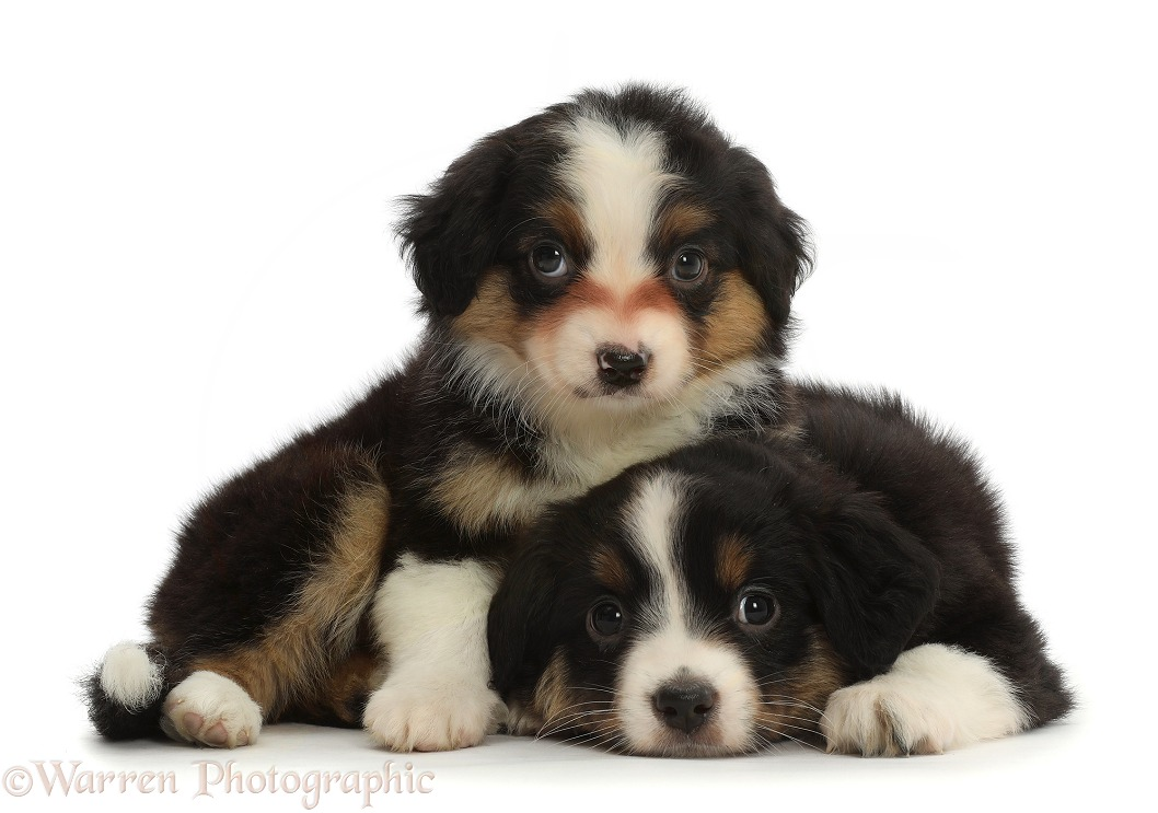 Mini American Shepherd puppies, 7 weeks old, white background