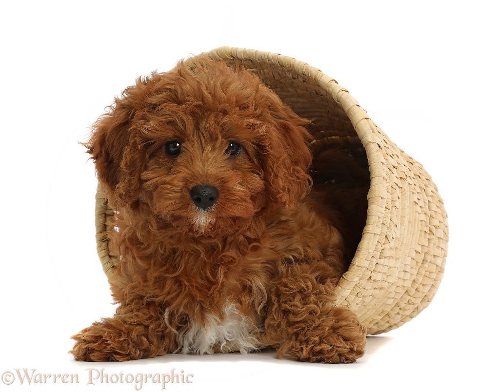 Red Cavapoo puppy in a wicker basket, white background