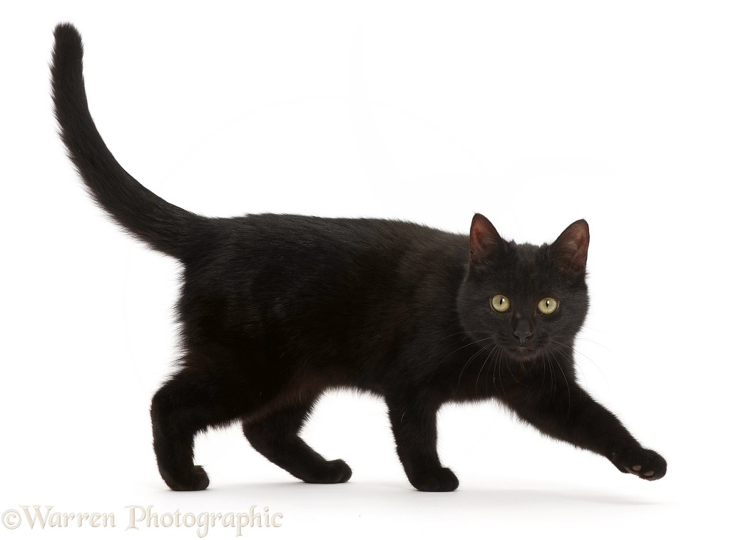 Black kitten striding across, white background
