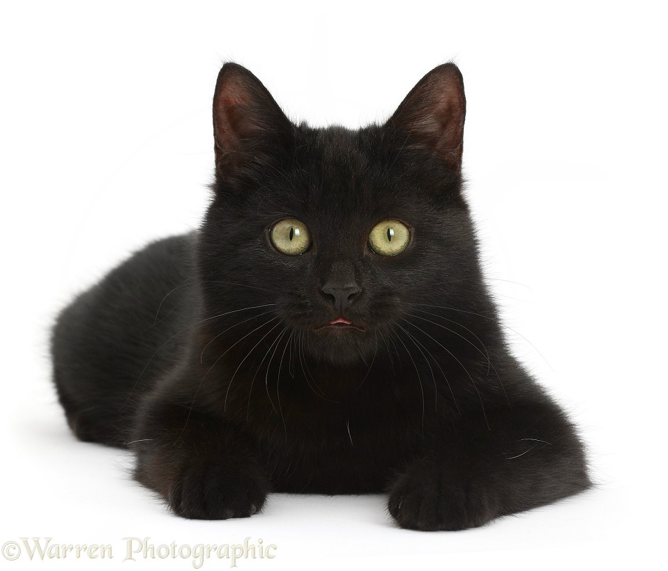Black kitten lying with head up, white background