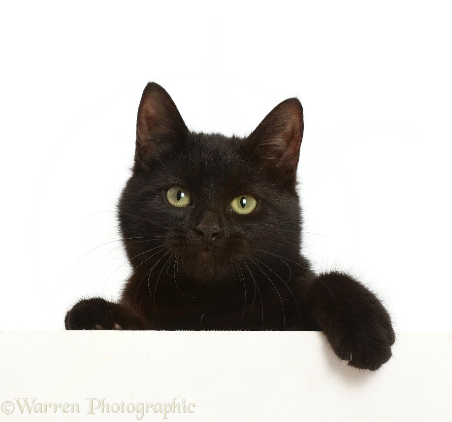 Black kitten paws over, white background