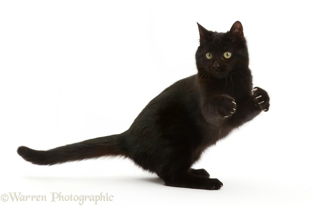 Playful black kitten, white background