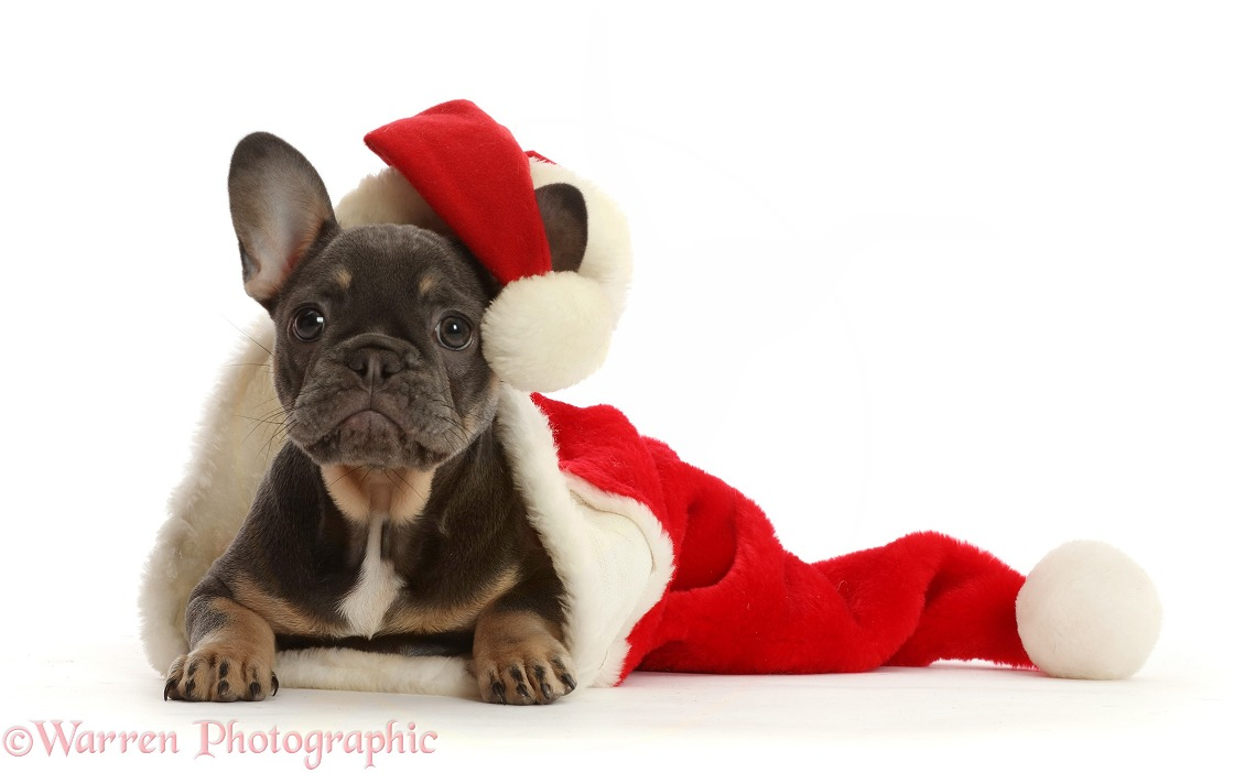 Blue-and-tan French Bulldog puppy in and wearing a Father Christmas hat, white background