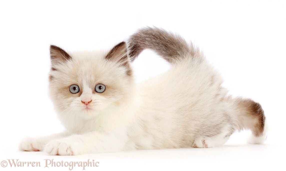 Persian-x-Ragdoll kitten, 7 weeks old, playfully pouncing, white background