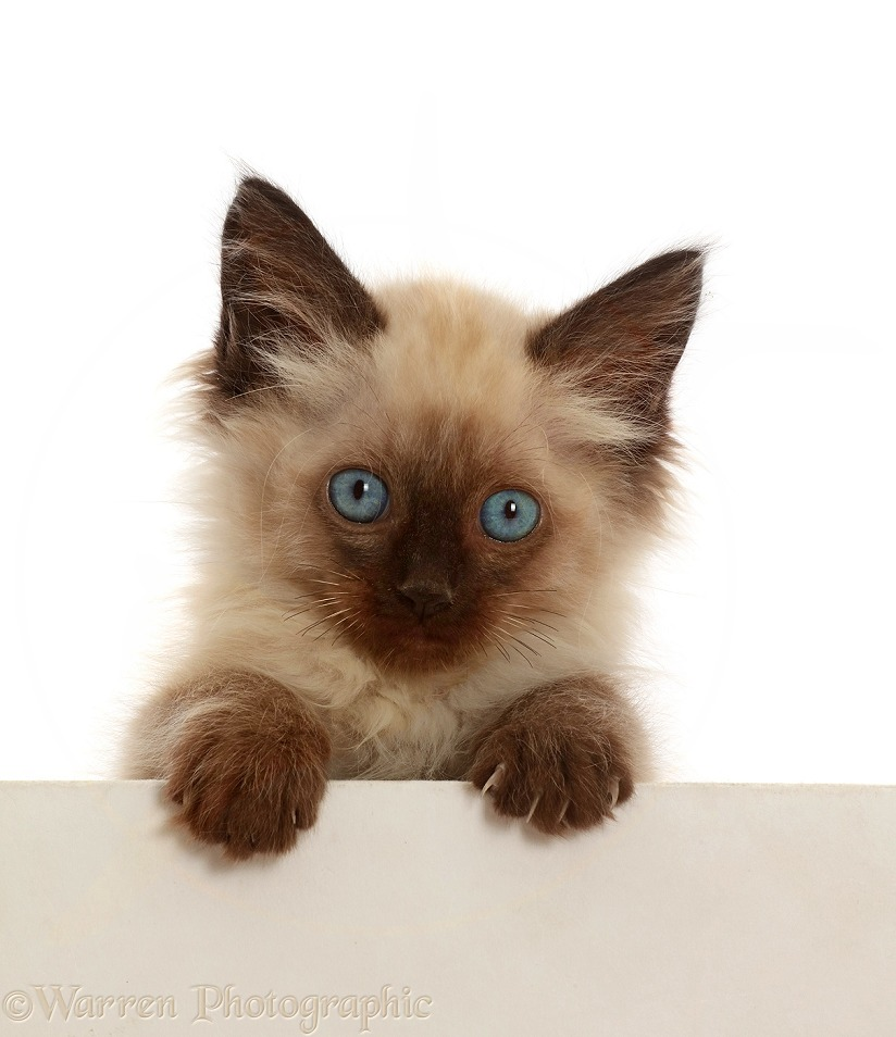 Ragdoll-cross kitten, 8 weeks old, paws over, white background