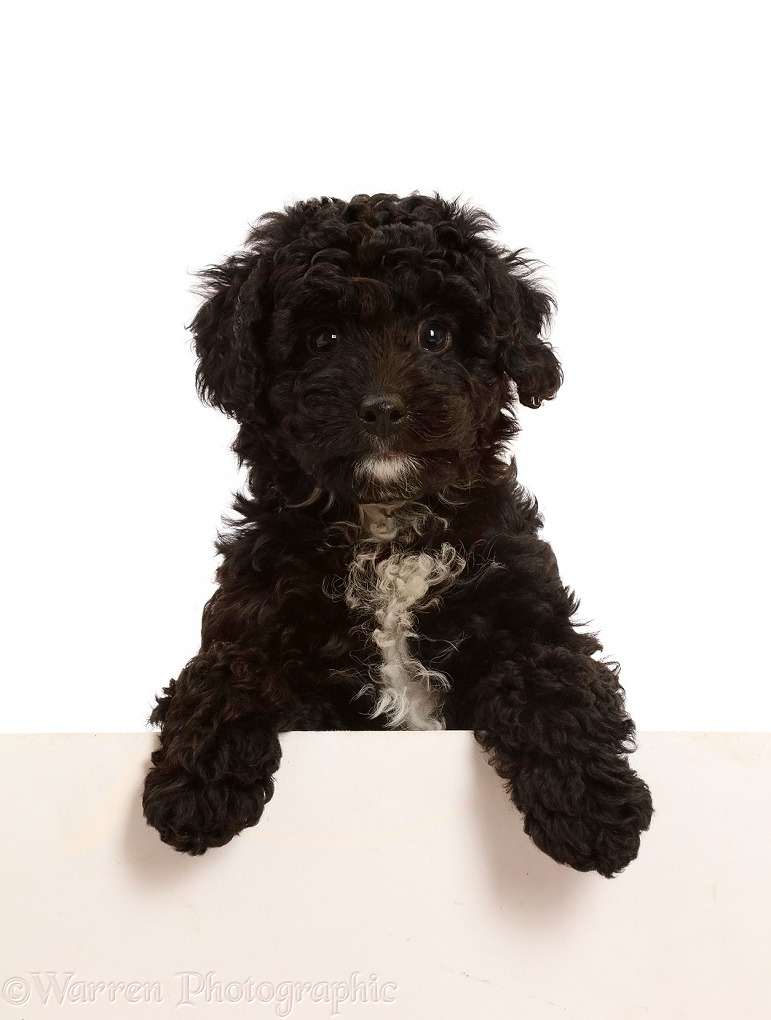 Black Poodle-cross puppy with paws over, white background