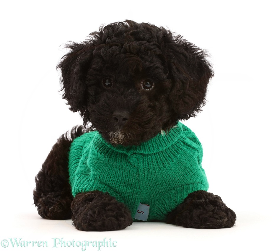 Black Poodle-cross puppy wearing green knitted jersey, white background