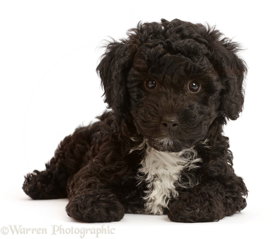 Black Poodle-cross puppy, white background