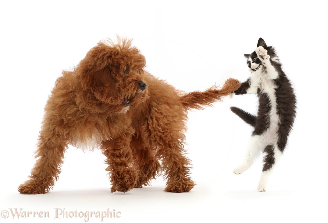 Black-and-white kitten playing with tail of red Cavapoo puppy, white background