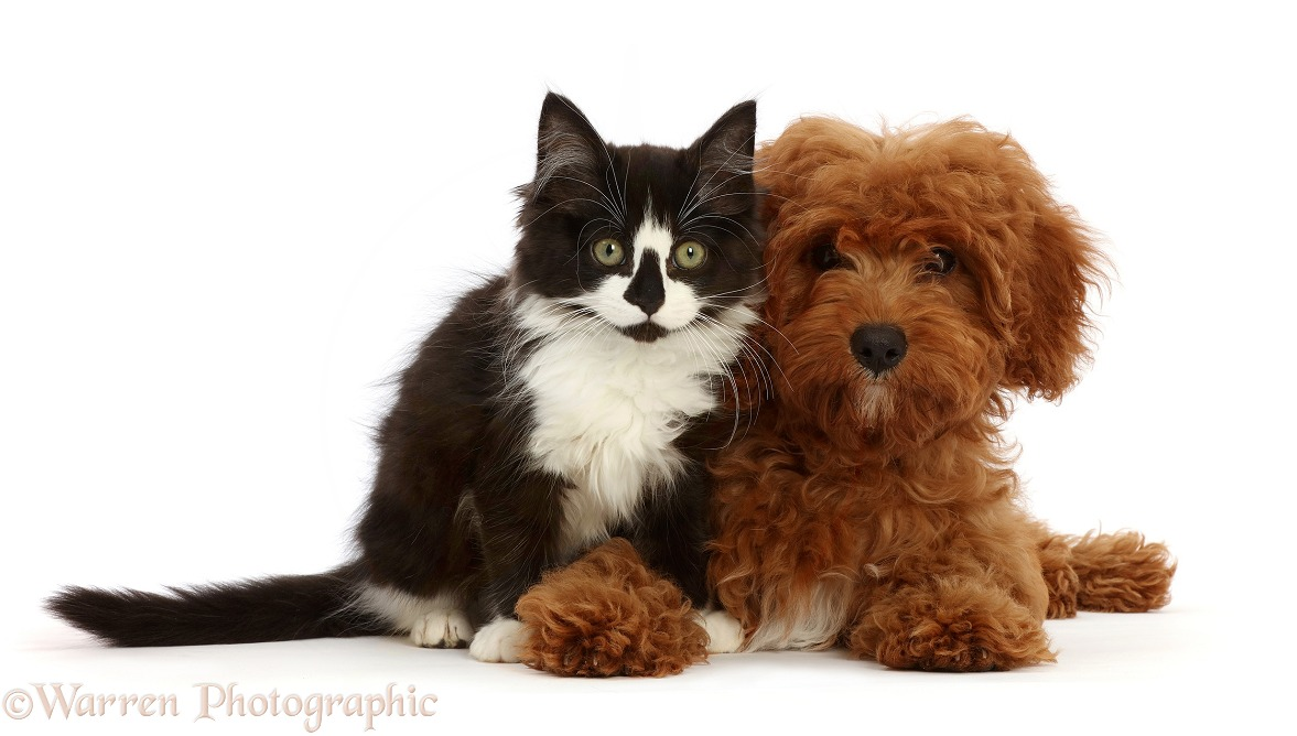 Black-and-white kitten and red Cavapoo puppy, white background