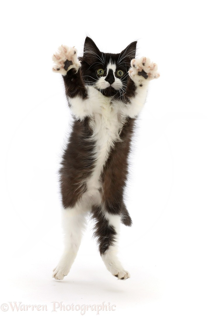 Black-and-white kitten jumping up and reaching out both paws, white background