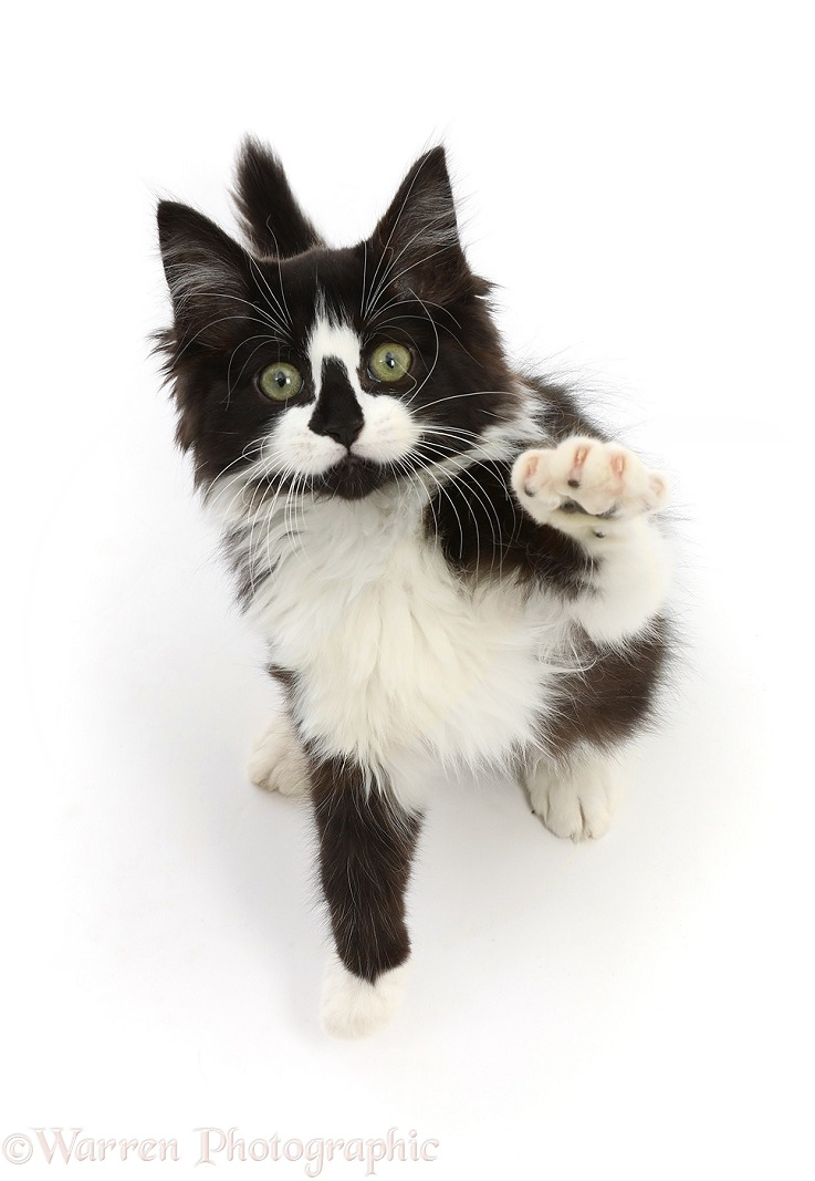 Black-and-white kitten sitting looking up and pointing, white background