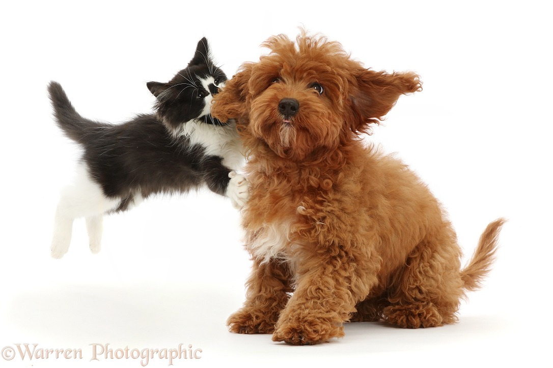 Black-and-white kitten leaping at red Cavapoo puppy, white background