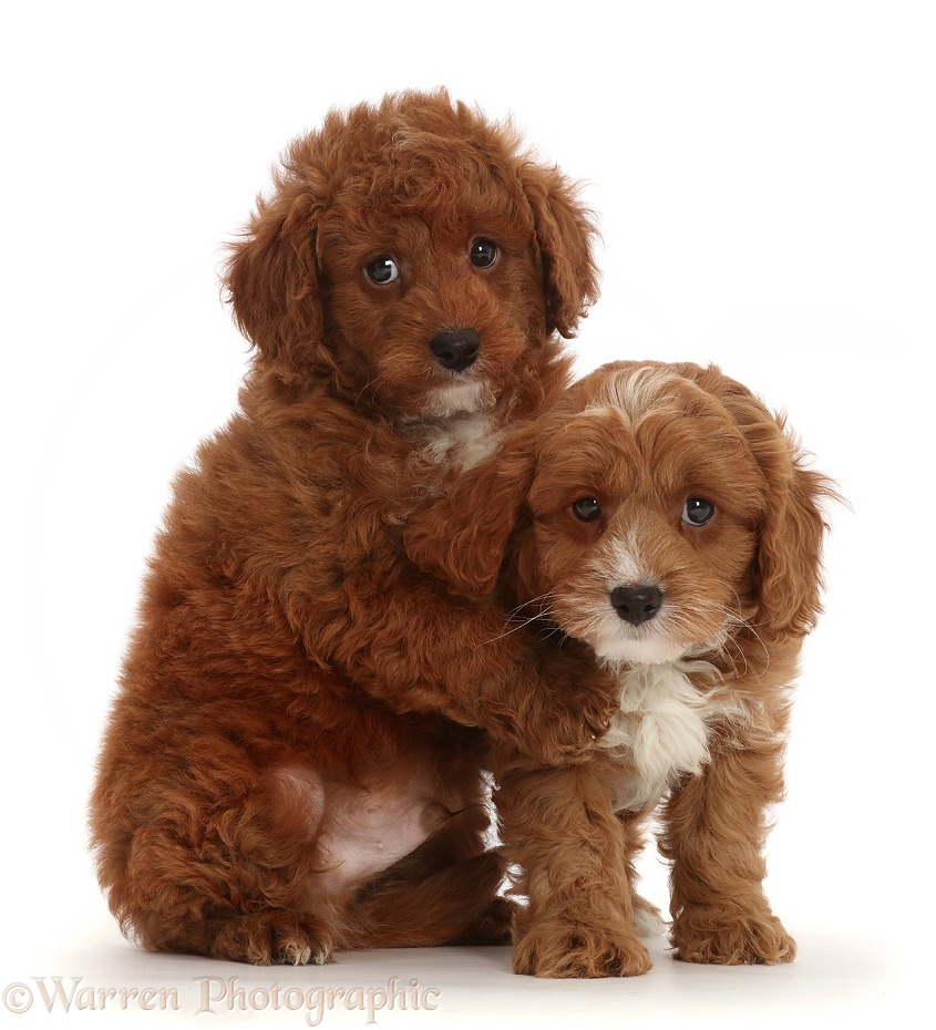 Cavapoo puppies hugging, white background