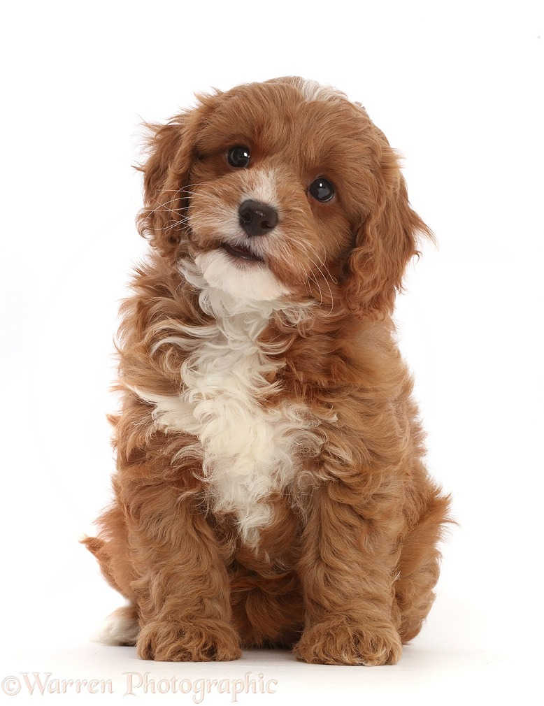 Cavapoo puppy sitting, white background