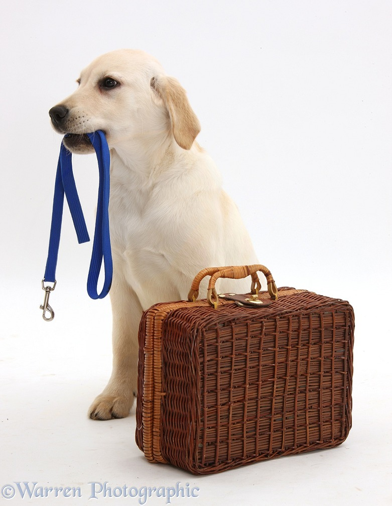 Yellow Labrador Retriever pup, 4 months old, waiting by a suitcase, with leash in mouth, white background