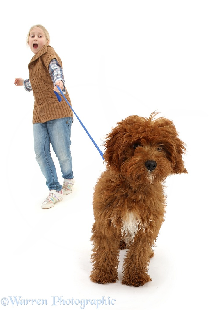 Siena walking walking Red Cavapoo pup, who is straining at the leash, white background