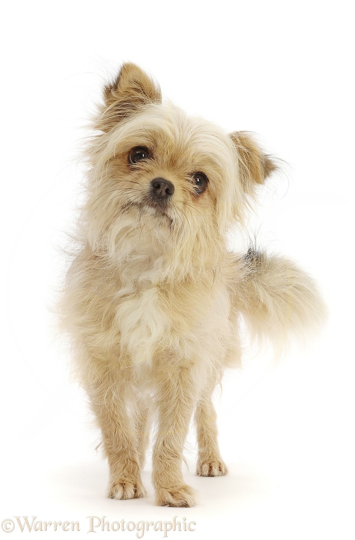 Chihuahua cross bitch standing, white background