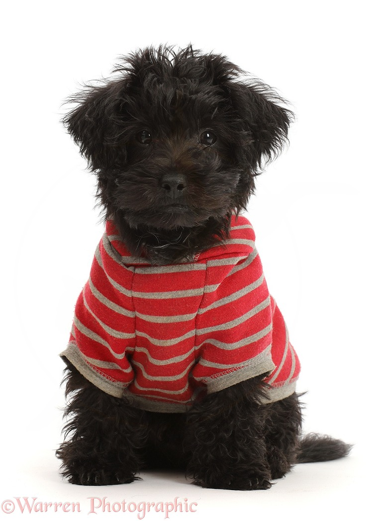 Black Poodle-cross puppy wearing a stripy hoody, white background