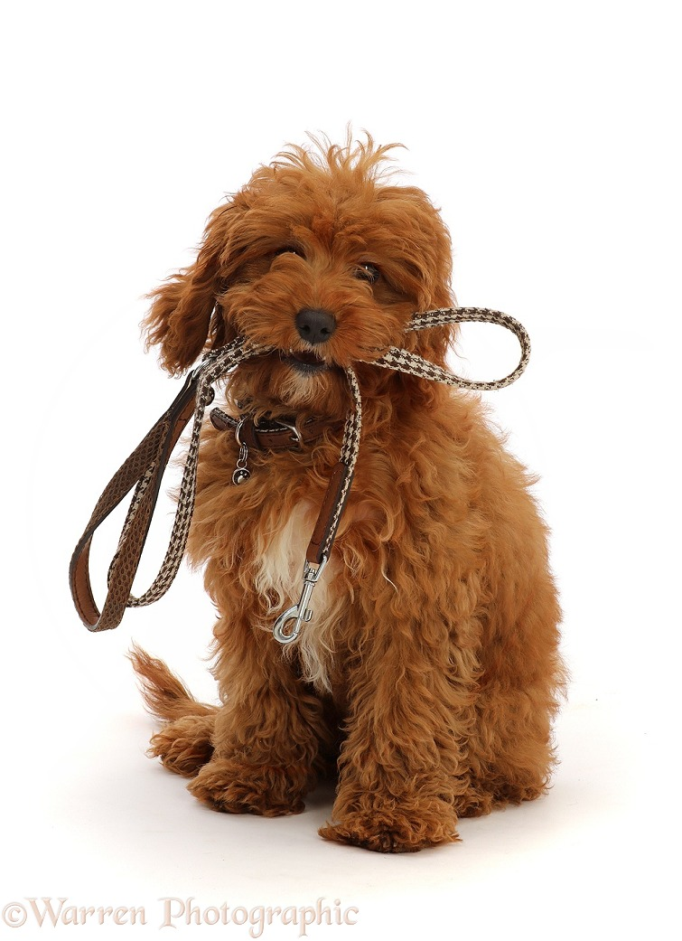 Red Cavapoo puppy holding a leash ready for a walk, white background