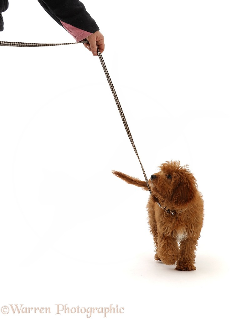 Red Cavapoo puppy walking on a leash, white background