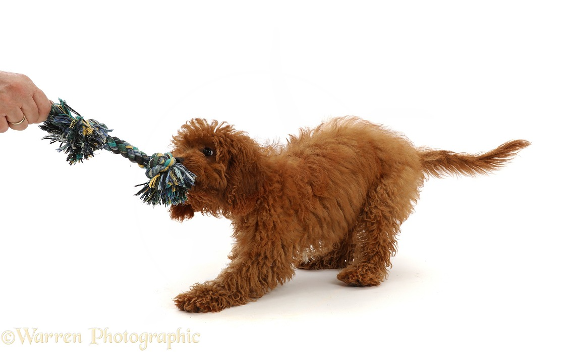 Red Cavapoo puppy playing tug o war with a ragger toy, white background