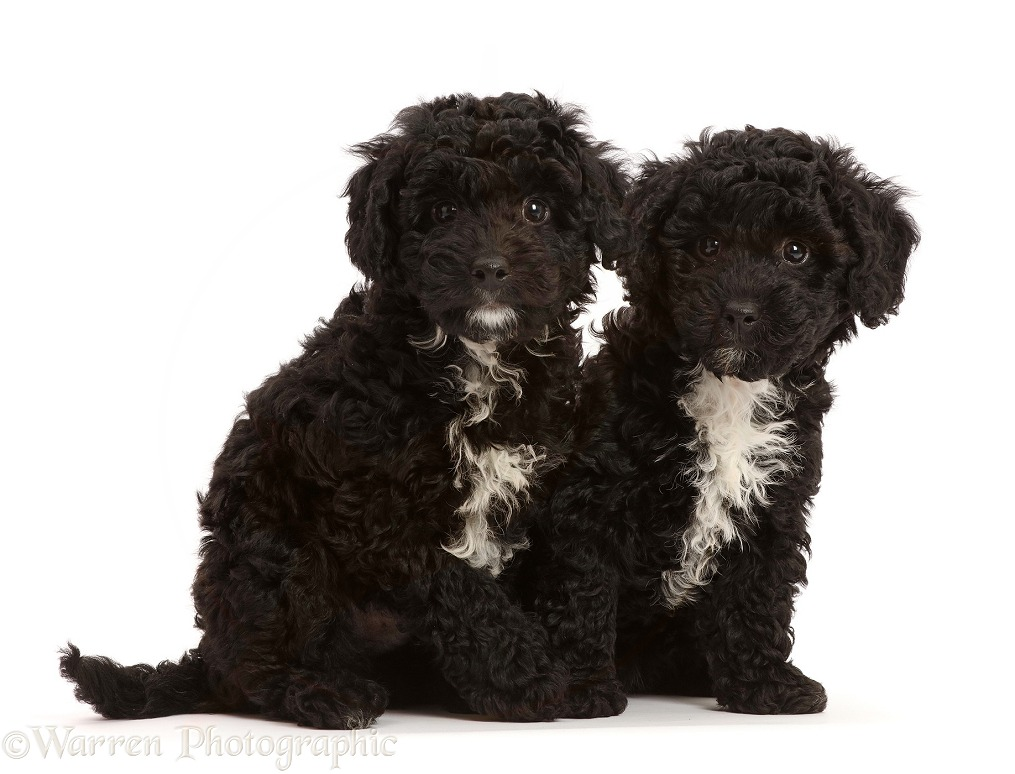 Two black Poodle-cross puppy, white background