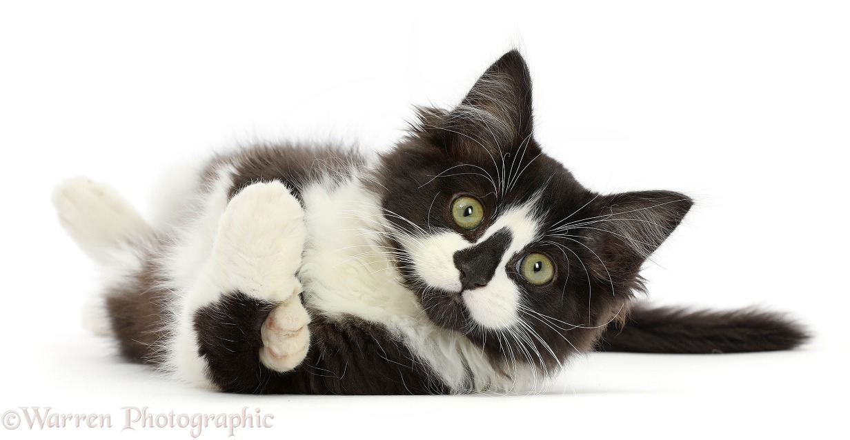 Black-and-white kitten lying on his side, white background