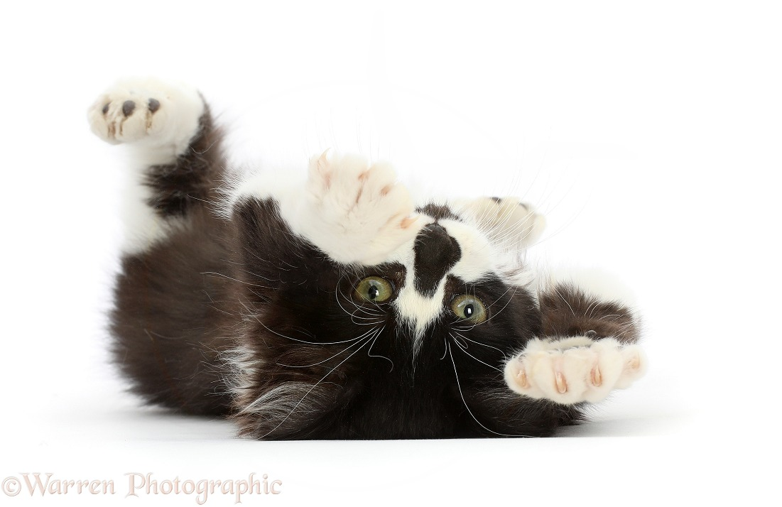 Black-and-white kitten lying on his back, white background