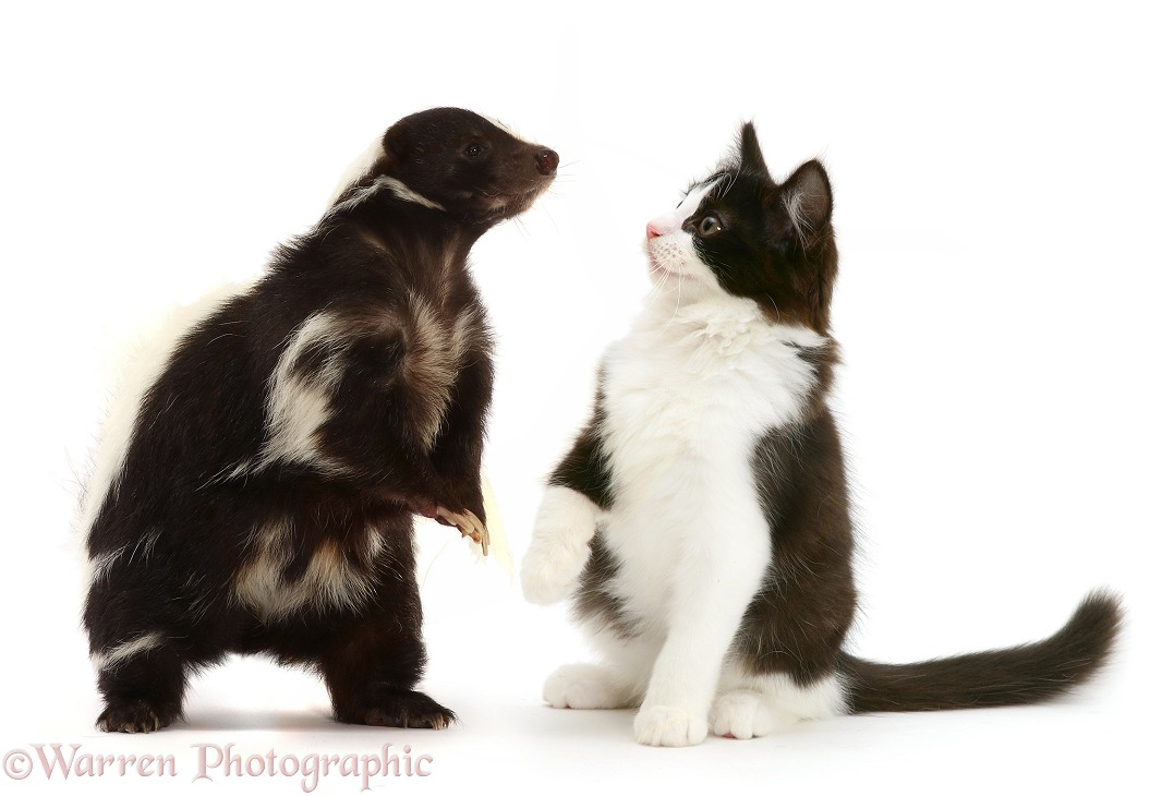 Striped Skunk (Mephitis mephitis) and black-and-white kitten, white background