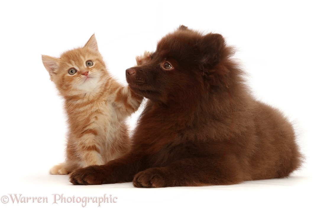 Ginger kitten and Chocolate Pomeranian puppy, white background