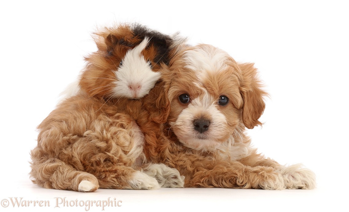 Cavapoochon puppy, 6 weeks old, and Guinea pig, white background