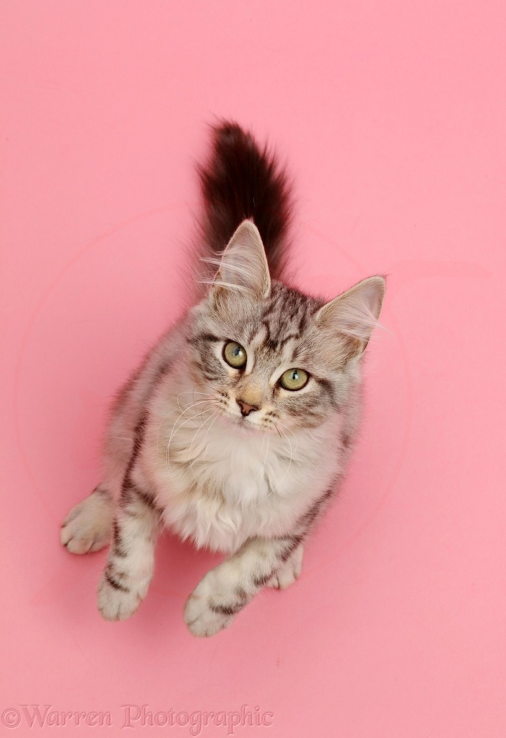 Silver tabby kitten, Freya, 3 months old,  looking up with raised paws on pink background