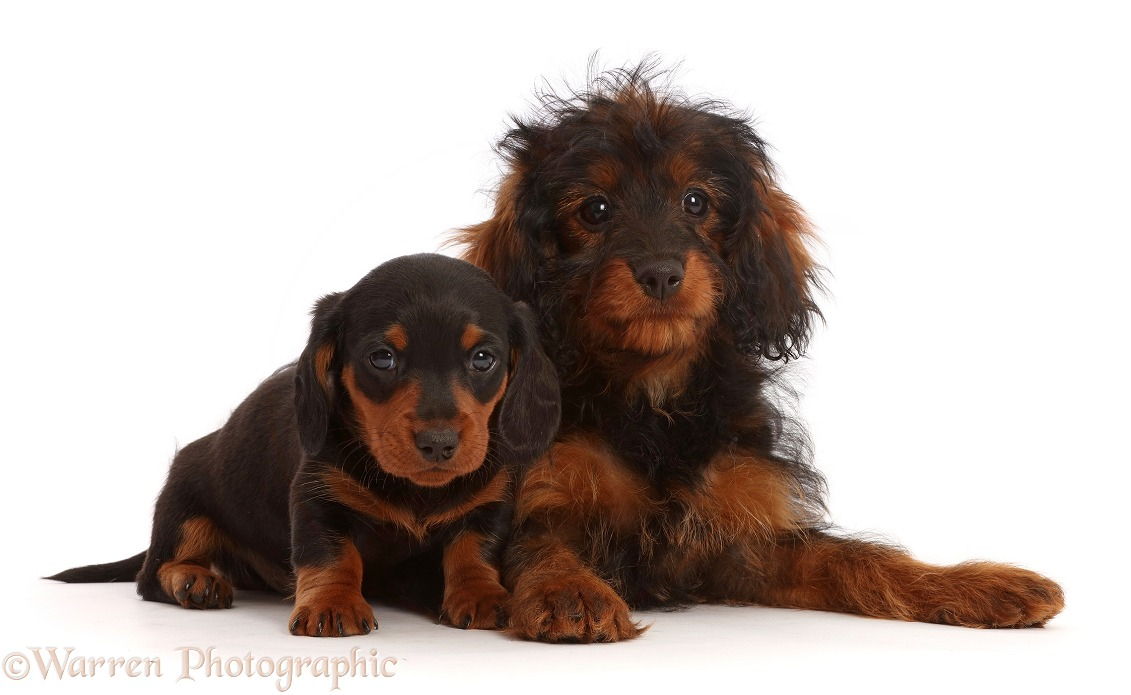 Black-and-tan Dachshund puppy and Cavapoo puppy, white background