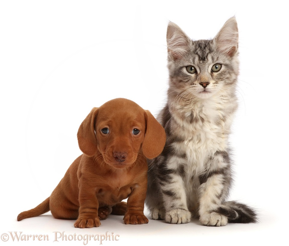 Silver tabby kitten, Freya, 11 weeks old, with red Dachshund puppy, 6 weeks old, white background