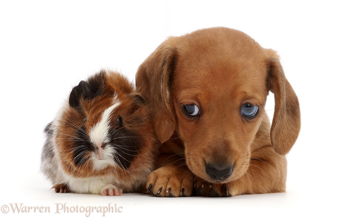 Red Dachshund puppy and Guinea pig, white background