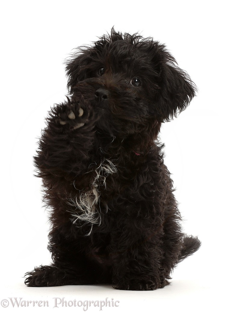 Black Poodle-cross puppy sitting, with raised paw, white background