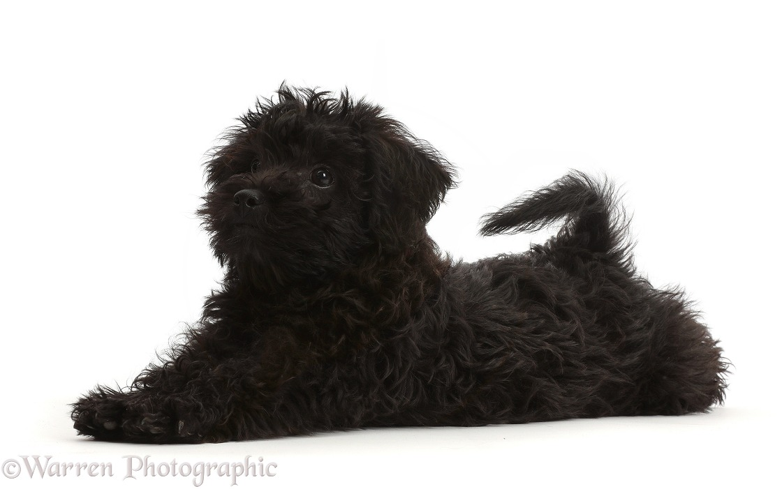 Black Poodle-cross puppy lying spread out, white background