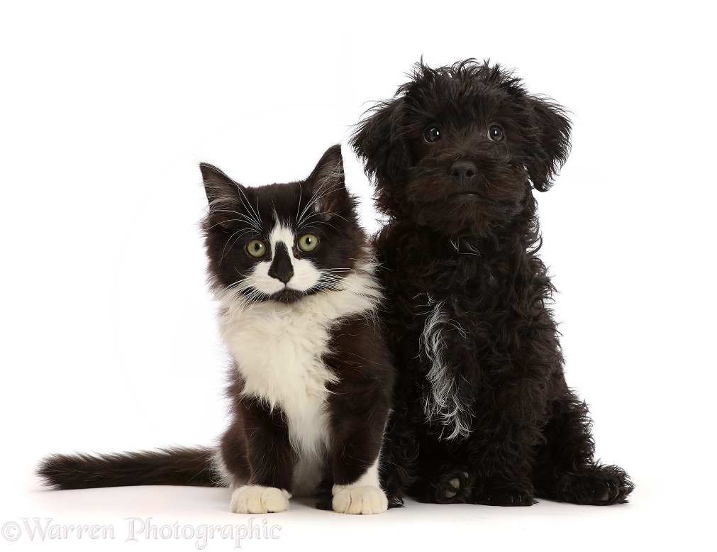 Black Poodle-cross puppy with black-and-white kitten, white background