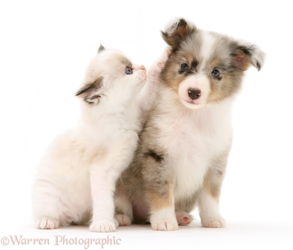 Birman-cross kitten and blue merle Shetland Sheepdog pup, white background