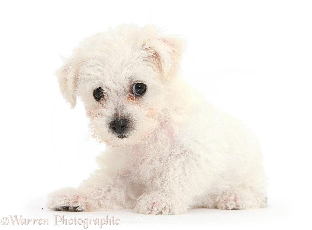 Cute white Bichon Frise x Yorkshire Terrier dog puppy, Georgie, 8 weeks old, white background