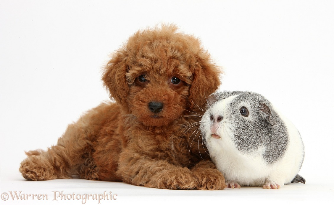 Cute red Toy Poodle puppy and Guinea pig, white background