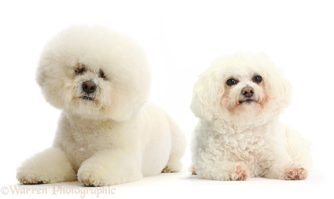 Two Bichons, one groomed, male, Beau, and one not groomed, bitch, Poppy, white background