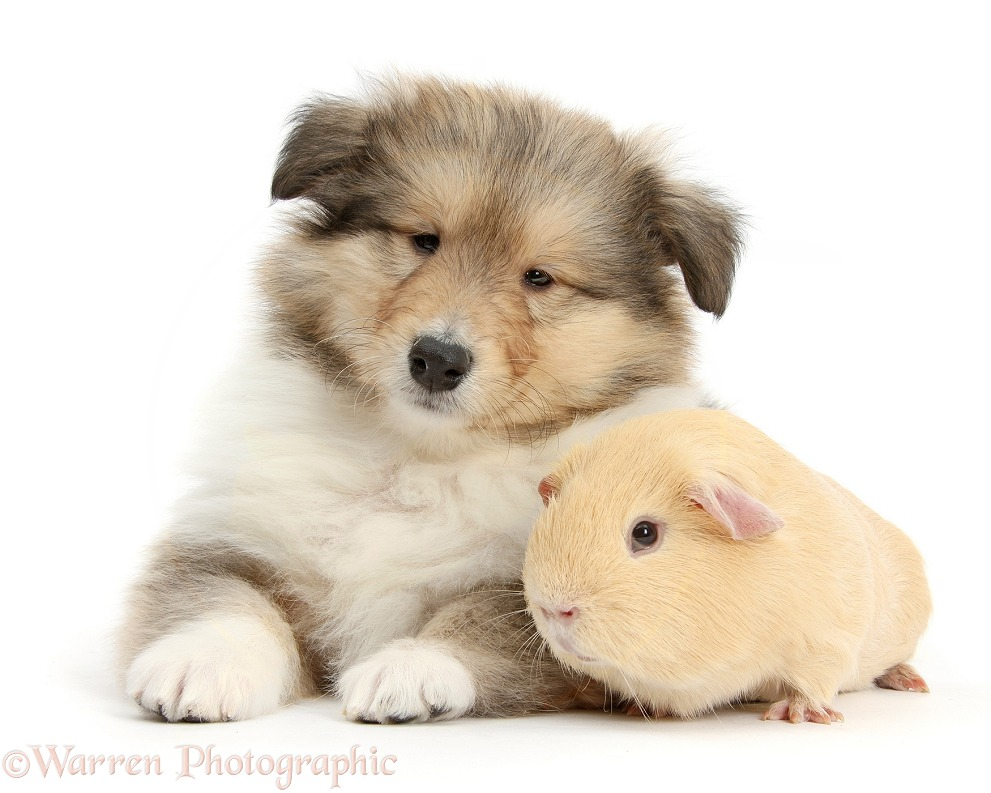 Sable Rough Collie puppy and yellow Guinea pig, white background