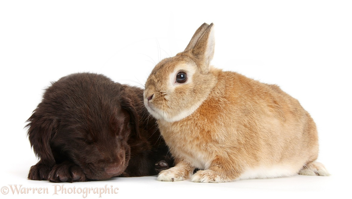 Liver Flatcoated Retriever puppy, 6 weeks old, falling asleep by Netherland Dwarf-cross rabbit, Peter, white background