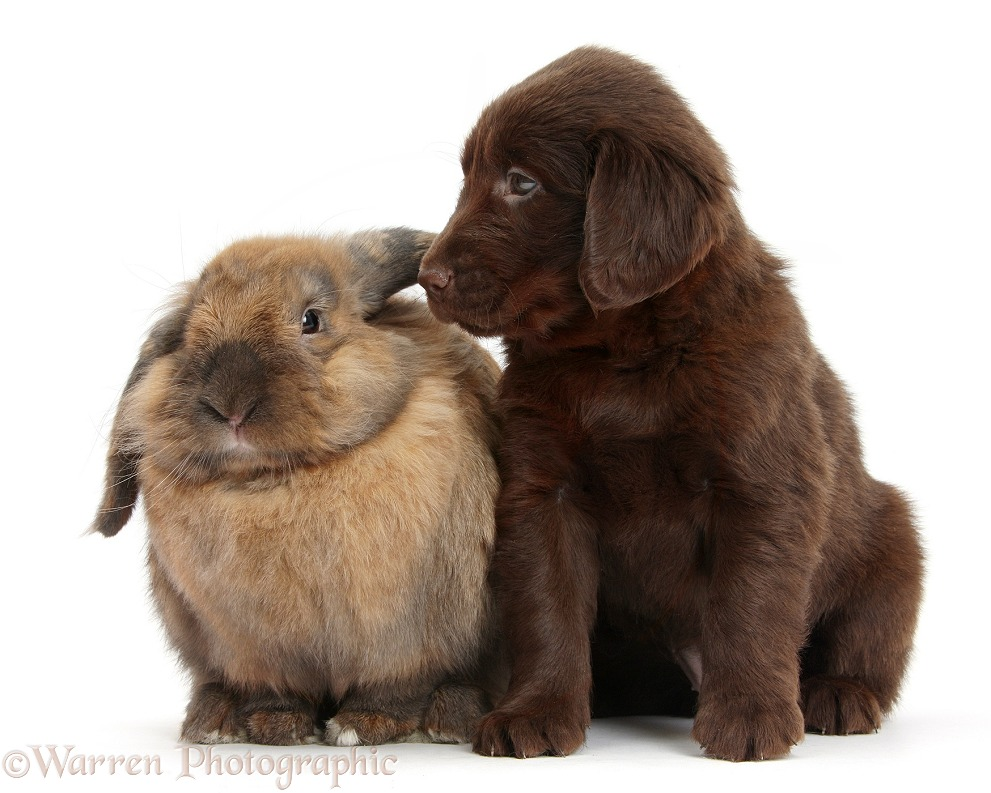 Liver Flatcoated Retriever puppy, 6 weeks old, with Lionhead Lop rabbit, Dibdab, white background