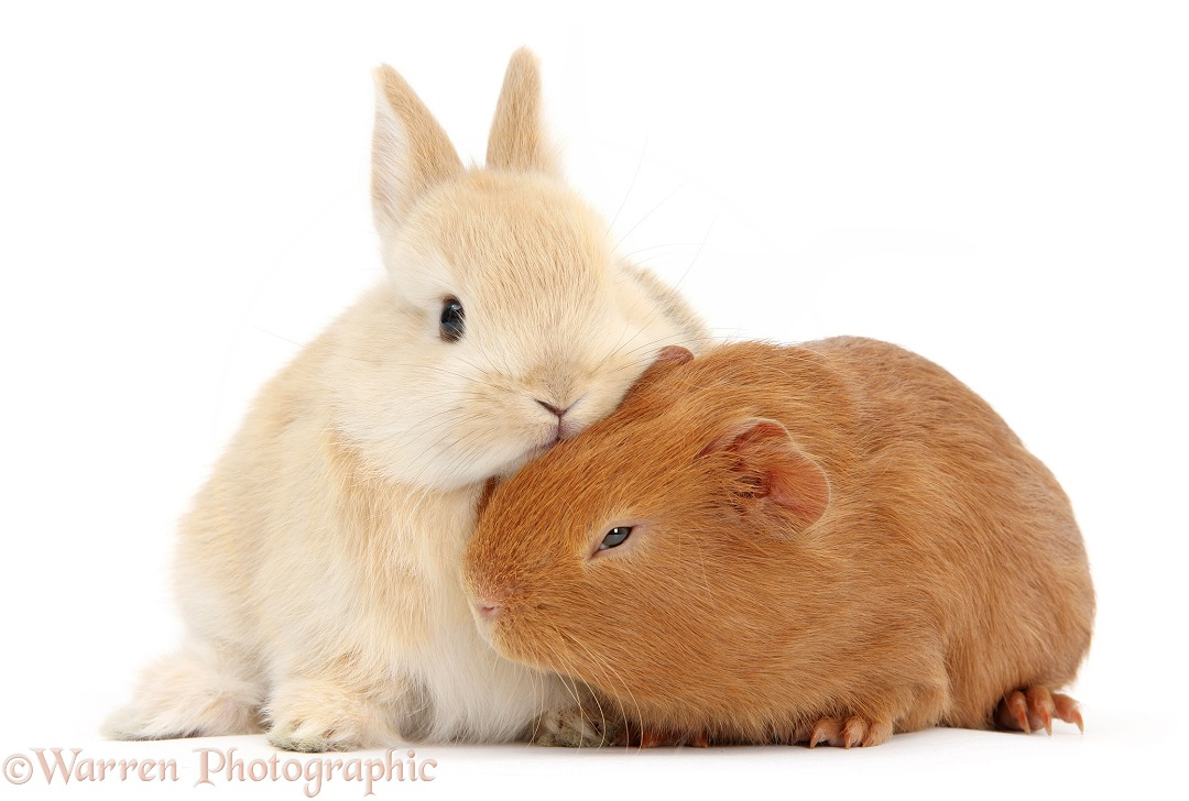 Yellow baby bunny with red baby Guinea pig, white background