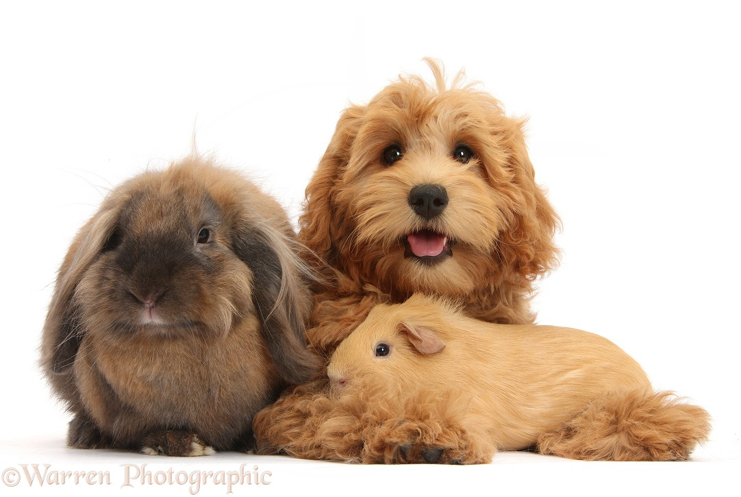 Cute red toy Goldendoodle puppy, Flicker, 12 weeks old, sitting with Lionhead Lop rabbit, Dibdab, and Yellow Guinea pig, white background
