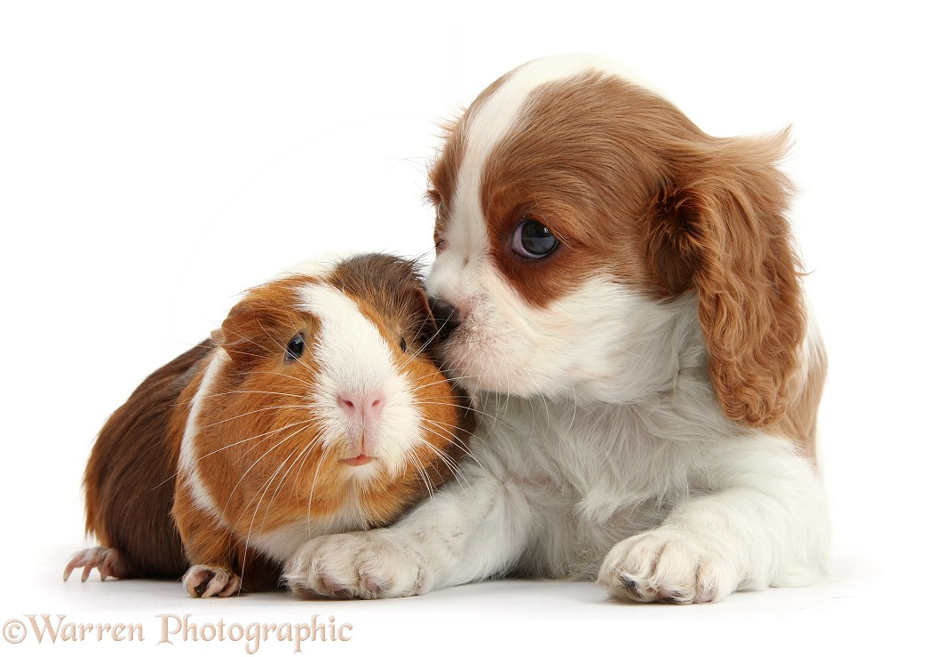 Blenheim Cavalier King Charles Spaniel puppy and tricolour Guinea pig, white background