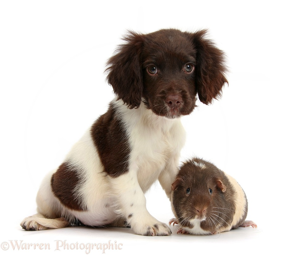 Chocolate-and-white Cocker Spaniel puppy and Guinea pig, white background